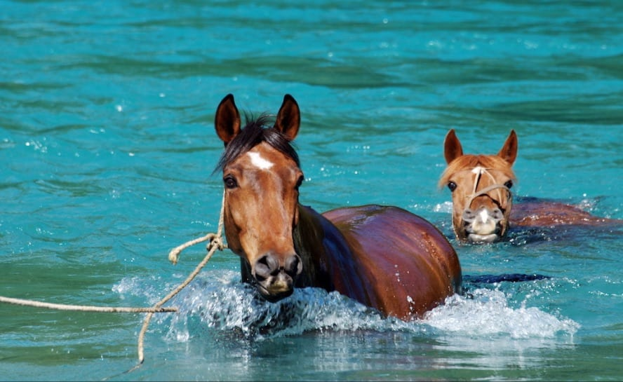 Horse riding across the Andes - the Puelo Ride_Horses swiming the puelo river._VEN106jpg