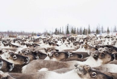 Siberia-Arctic-Expedition_Reindeer_TOP006-1024×681