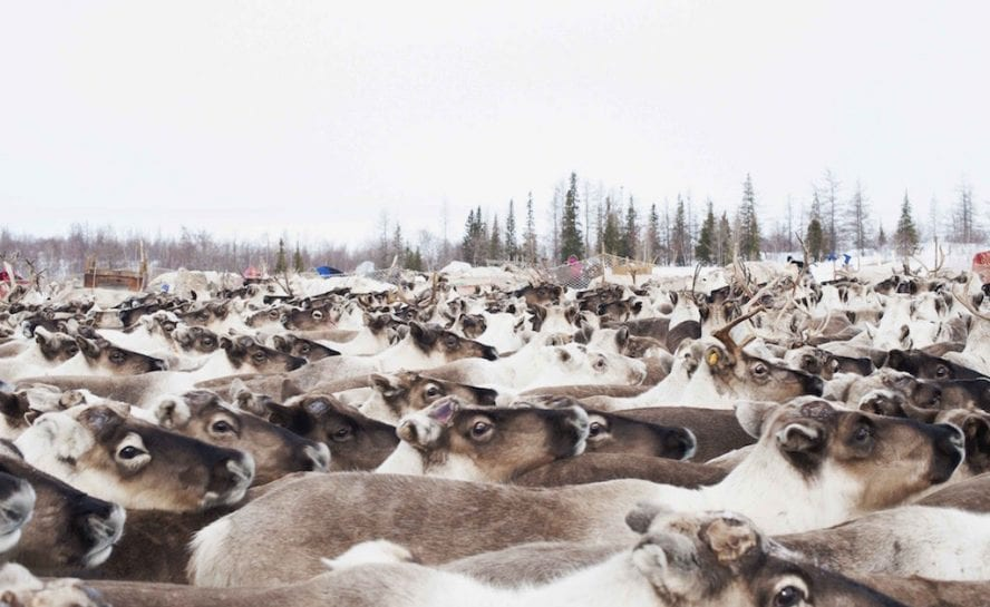 Siberia-Arctic-Expedition_Reindeer_TOP006-1024×681