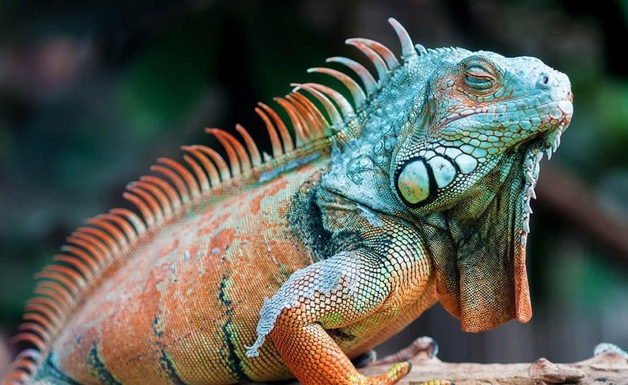 iguana 888